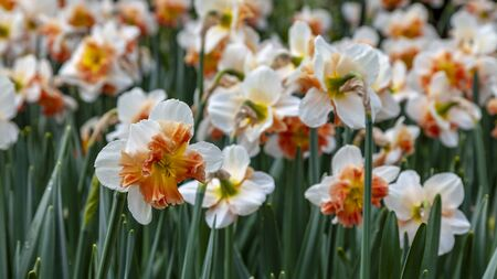 Close-up image of a daffodil in a field of flowers in spring.