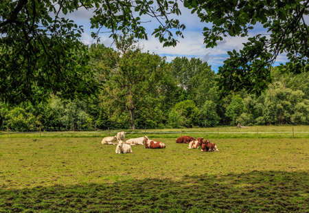 Herd of cows laying down in a green pasture framed by tree leaves.