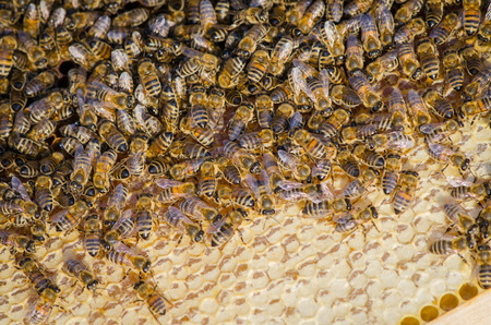 new generation: Bees take care of the larvae  their new generation Stock Photo