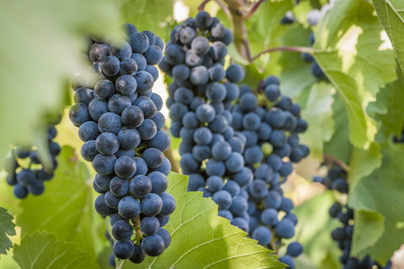 purple red grapes with green leaves on the vine. fresh fruits Stok Fotoğraf