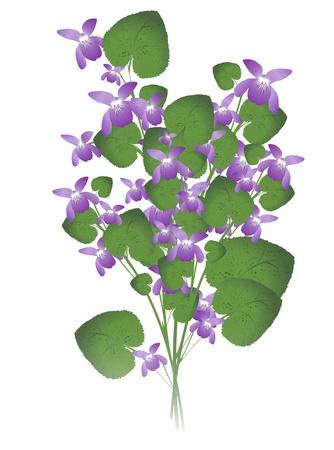fiori di campo: mucchio di violetta selvatica su sfondo bianco Vettoriali