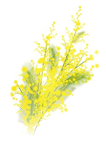 Mimosa bloemen op witte achtergrond