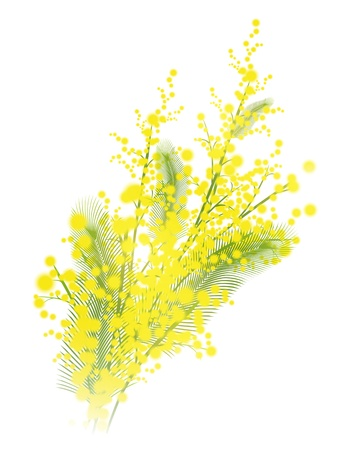 Mimosa flowers over white background
