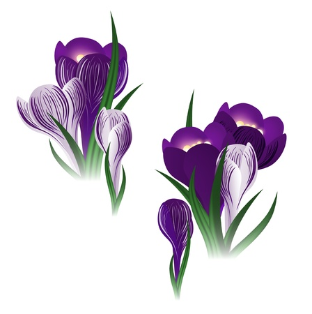 crocus: illustration of the crocus flower over white background Illustration