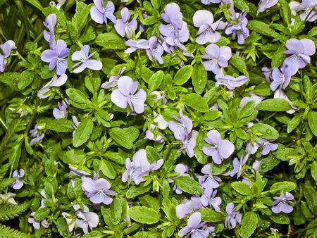wet wild violet with green leaves Stock Photo - 14805953