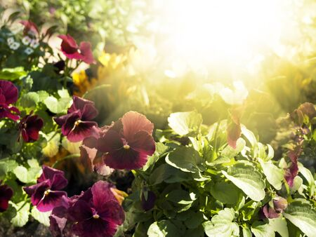Pansies Flowers Over Bright Sunny Background photo