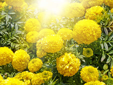 tagetes: Yellow Flowers Sunny Summer Bright Meadow