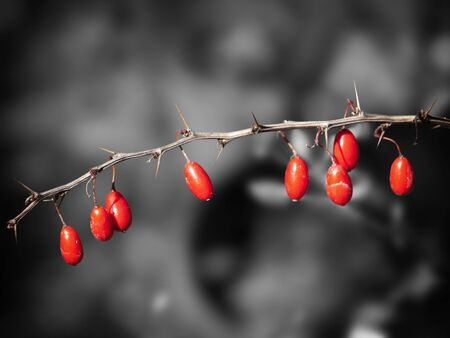 barberry: Contrast Red Barberry Over Desaturated Background