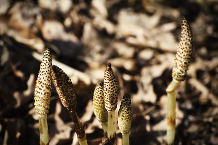 Photo of Young Spring Equisetum Over Natural background photo