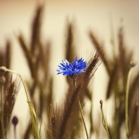 Cornflower: Photo of the Cornflower Blooming in Nature Background Stock Photo