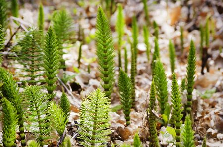 equisetum: Photo of Young Spring Equisetum Over Natural background  Stock Photo