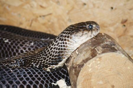 spitting: Photo of the Ringhals (South African Spitting Cobra) Stock Photo