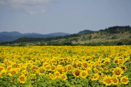 natura: Yellow Sunflower in Summertime Over Natura Bbackground