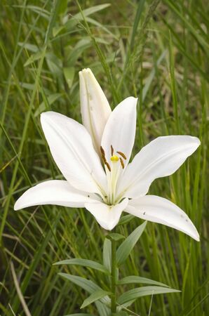 White Lily Flower Over Grass Background photo