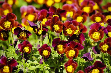 Photo of Bright Pansy Flower Background  photo