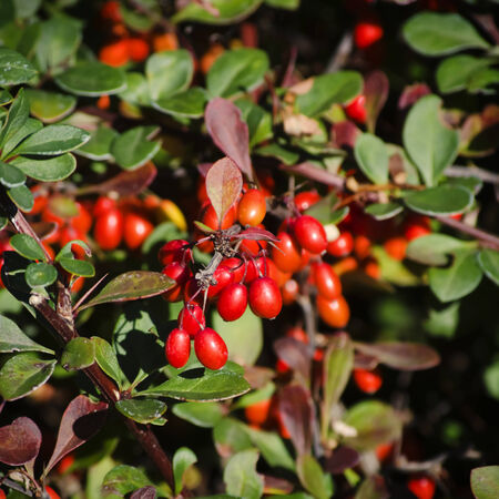 barberry: Photo of Red Barberry Plant in Autumn Time Stock Photo