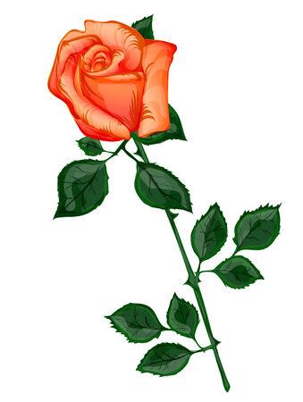 orange rose: Single Orange Rose Illustration Over White Background