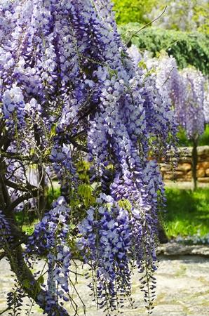wistaria: Spring Purple Wistaria Blossom in Garden Landscaping Stock Photo