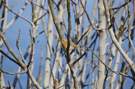 robin bird: Robin Bird at Tree Branches Over Blue Sky