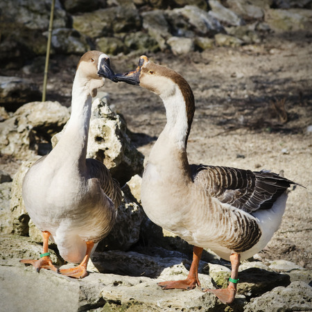 domestic duck: Two Gooses in Love Springtime Stock Photo