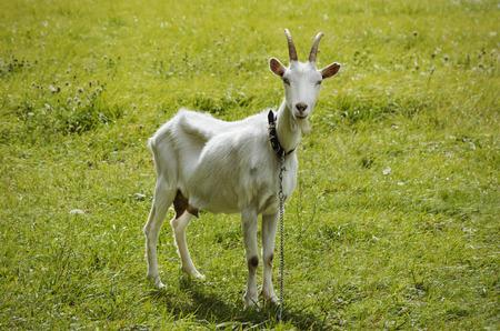 cabra: Blanca soltera Cabra en la hierba verde Foto de archivo