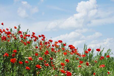 champ de fleurs: Coquelicots terrain dans Summertime Banque d'images