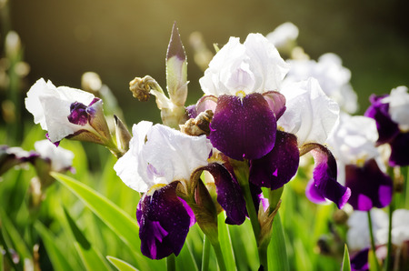 Iris Flower Over Natural Gardening Landscape