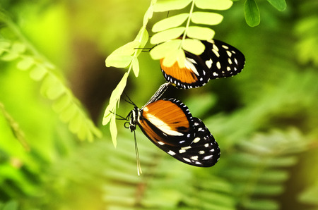 insecta: Heliconius melpomene  Butterfly Over Green Background