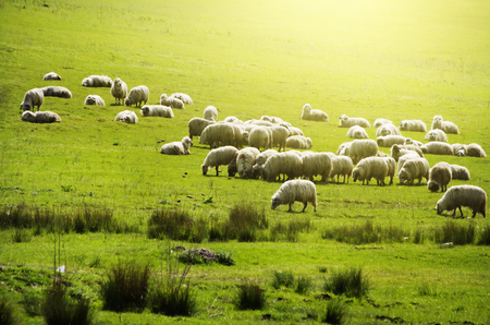 flock of sheep: Sheeps Herd at Green Field, Romania