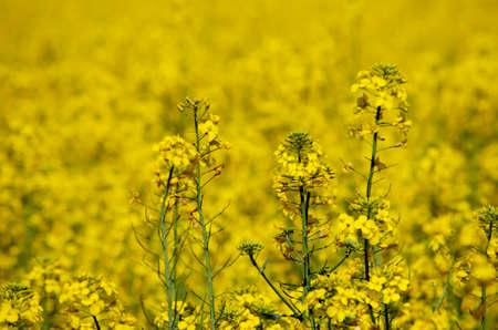 colza: Spring Colza Field Landscape Background