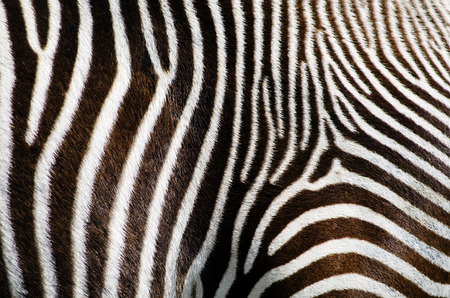 Photo of the Zebra Fur Background