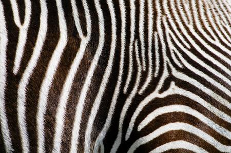Foto des Zebra-Pelz-Hintergrund
