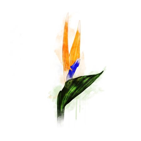 strelitzia: Illustration of Strelitzia Over White Background Stock Photo