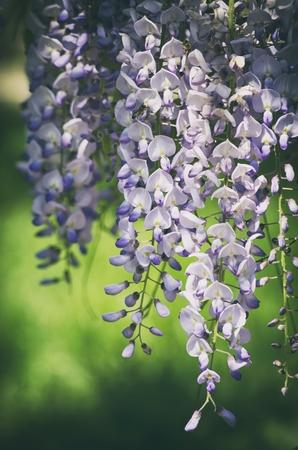 wistaria: Spring Wistaria Flower Blossom in Nature