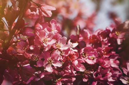 cherry blossoms: Photo of Spring Tree Pink Blossom