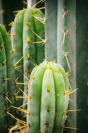 cactus desert: Photo of Green Growing Cactus