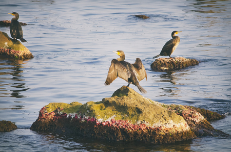 cormorants: Some Cormorants at Sea