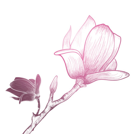 plant delicate: Vintage Magnolia Flower Over White Background Illustration