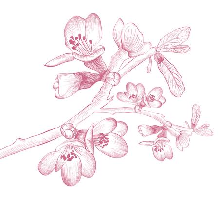 fleur cerisier: Vintage printemps Fleur Fleur de cerisier sur fond blanc