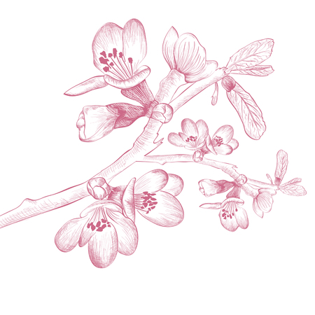 cherry blossom: Vintage Spring Cherry Blossom Flower Over White Background