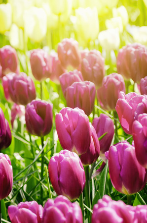 blooming  purple: Tulip Field in Sunny Day