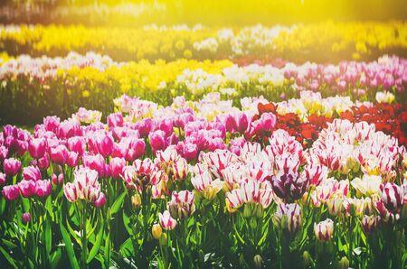 garden flower: Tulip Field in Sunny Day