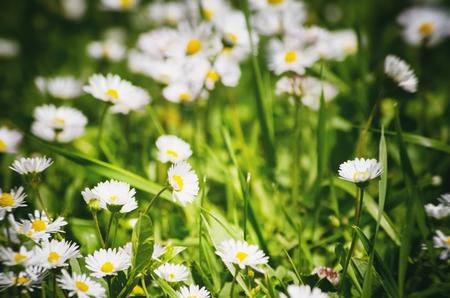 white daisies: White Daisies Field Background Stock Photo