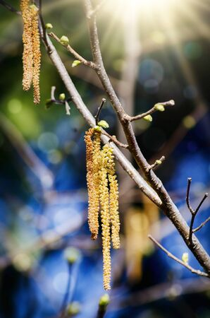 trees seasonal: Birch Catkins in Spring Sunny Day Stock Photo