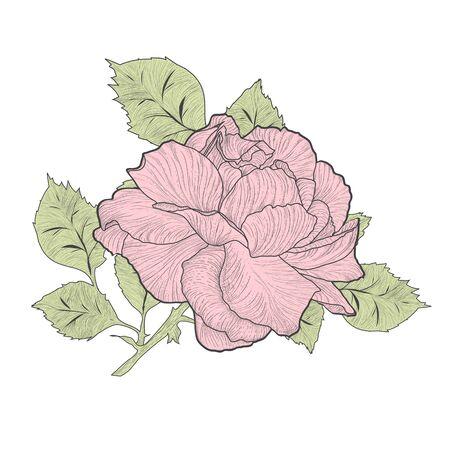 single rose: Illustration of Vintage Pink Single Rose Over White Background Illustration