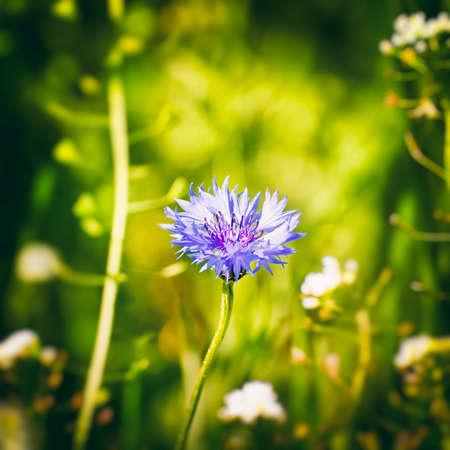geen: Single Cornflower at Geen Meadow