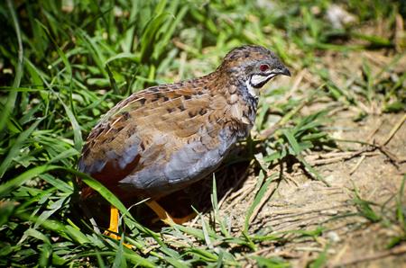 quail: Single Small Quail Bird in Grass Stock Photo