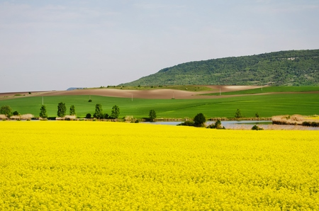 oilseed rape: Spring Bright Yellow Rapeseed Field