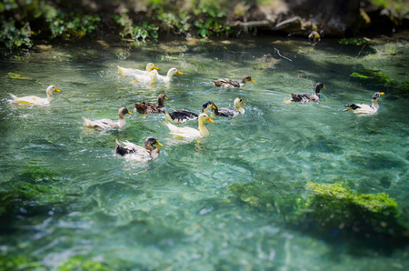 quack: Funny Ducks in Clear Blue Water Stock Photo