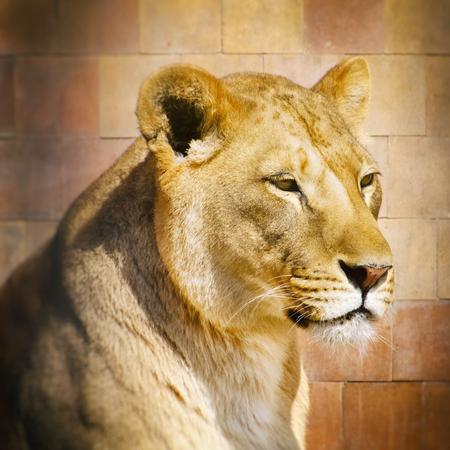 animal fur: Rest Lion Portrait in Sunny day